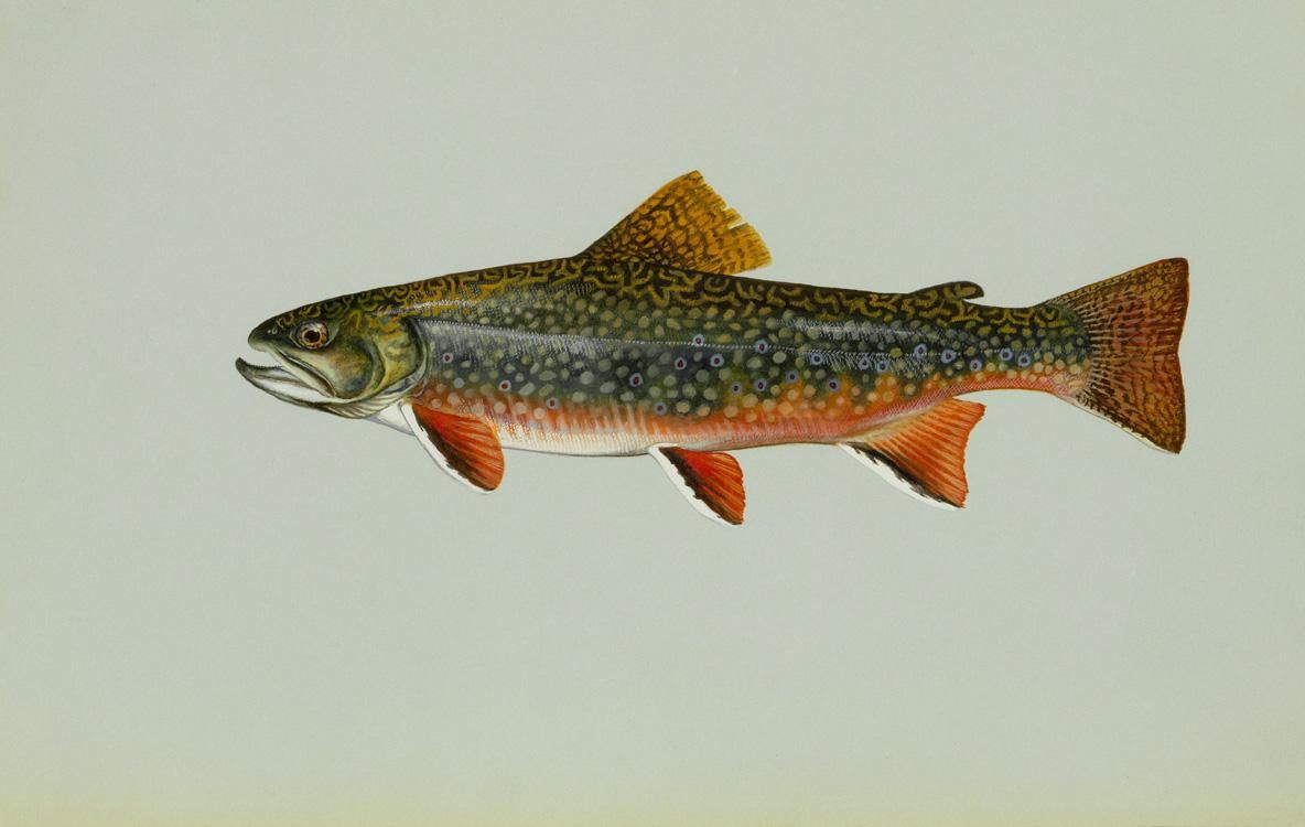 Freshwater fish - File Brook Trout Freshwater Fish Jpg