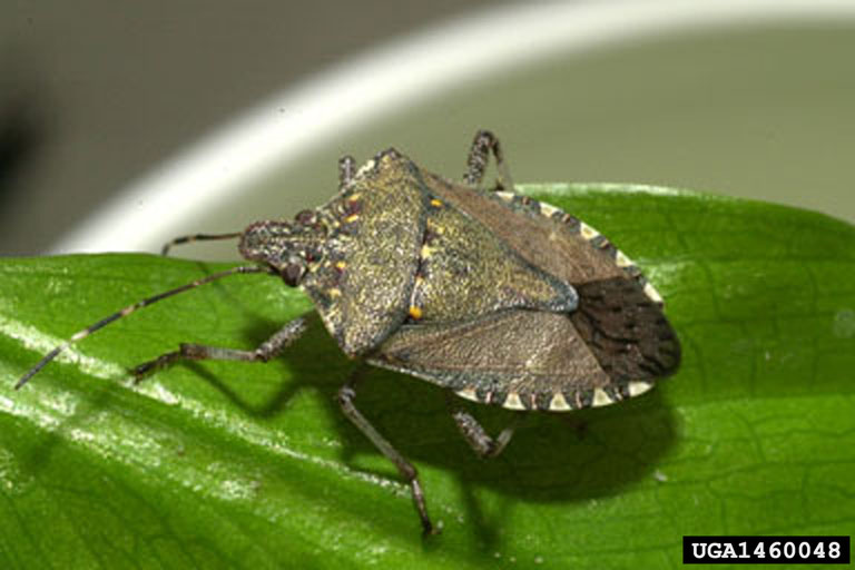 Stink Bug pests