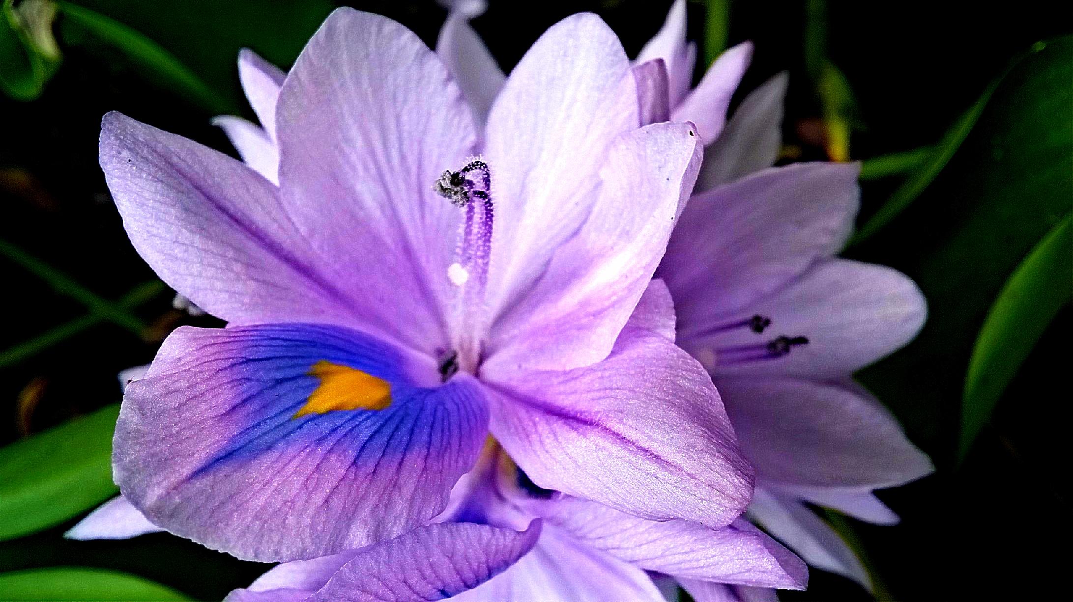 File Bunga Teratai Jpg Wikimedia Commons