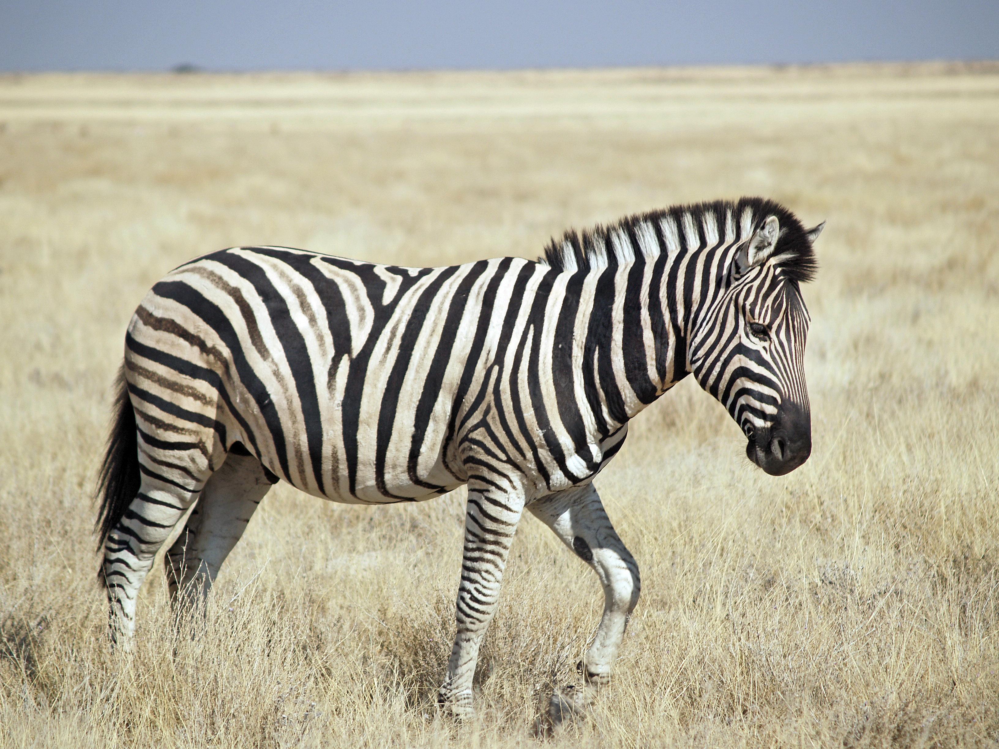 File:Burchell's Zebra (Etosha).jpg - Wikipedia