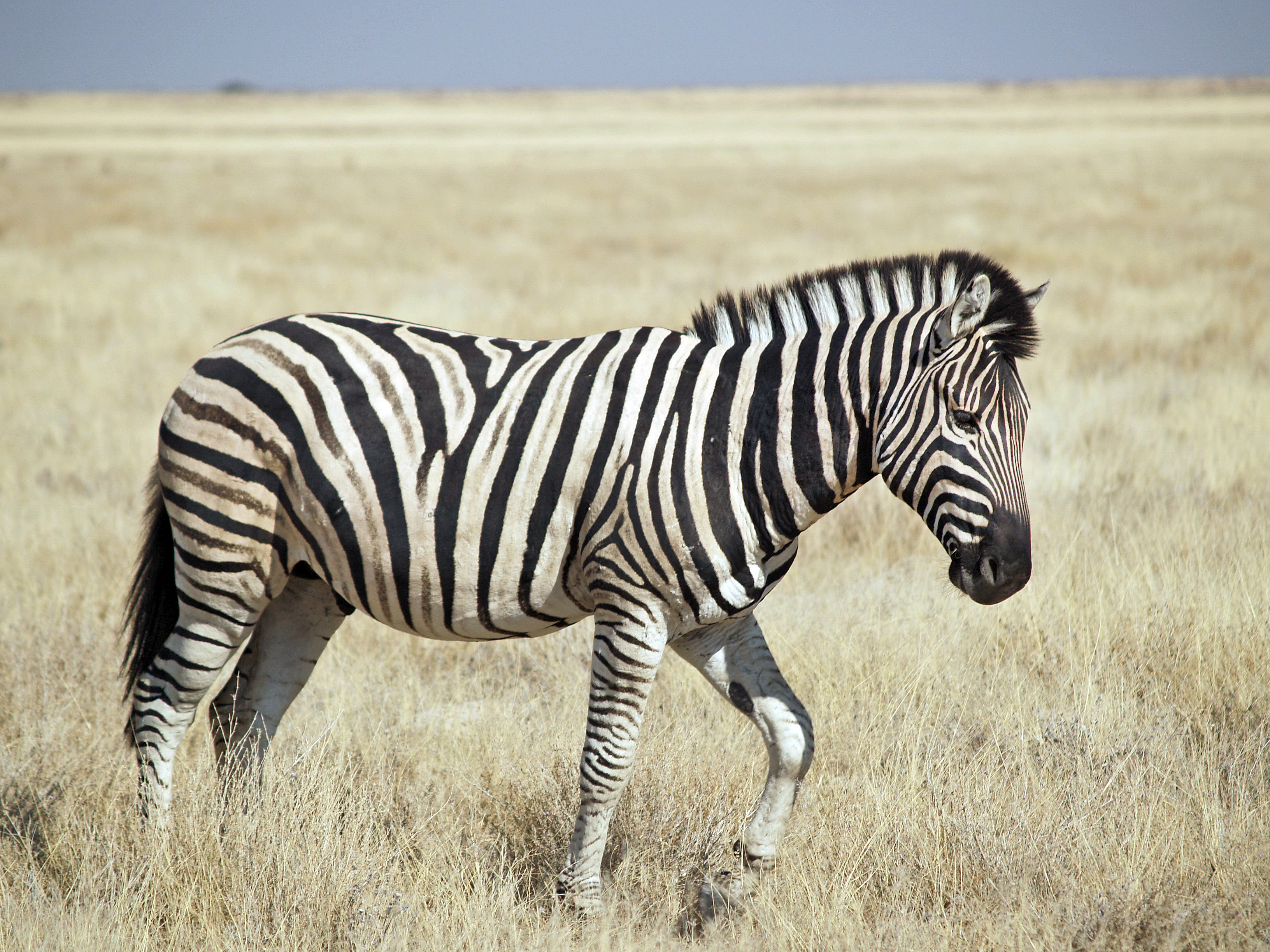 Http Commons Wikimedia Org Wiki File Burchell S Zebra Etosha Jpg