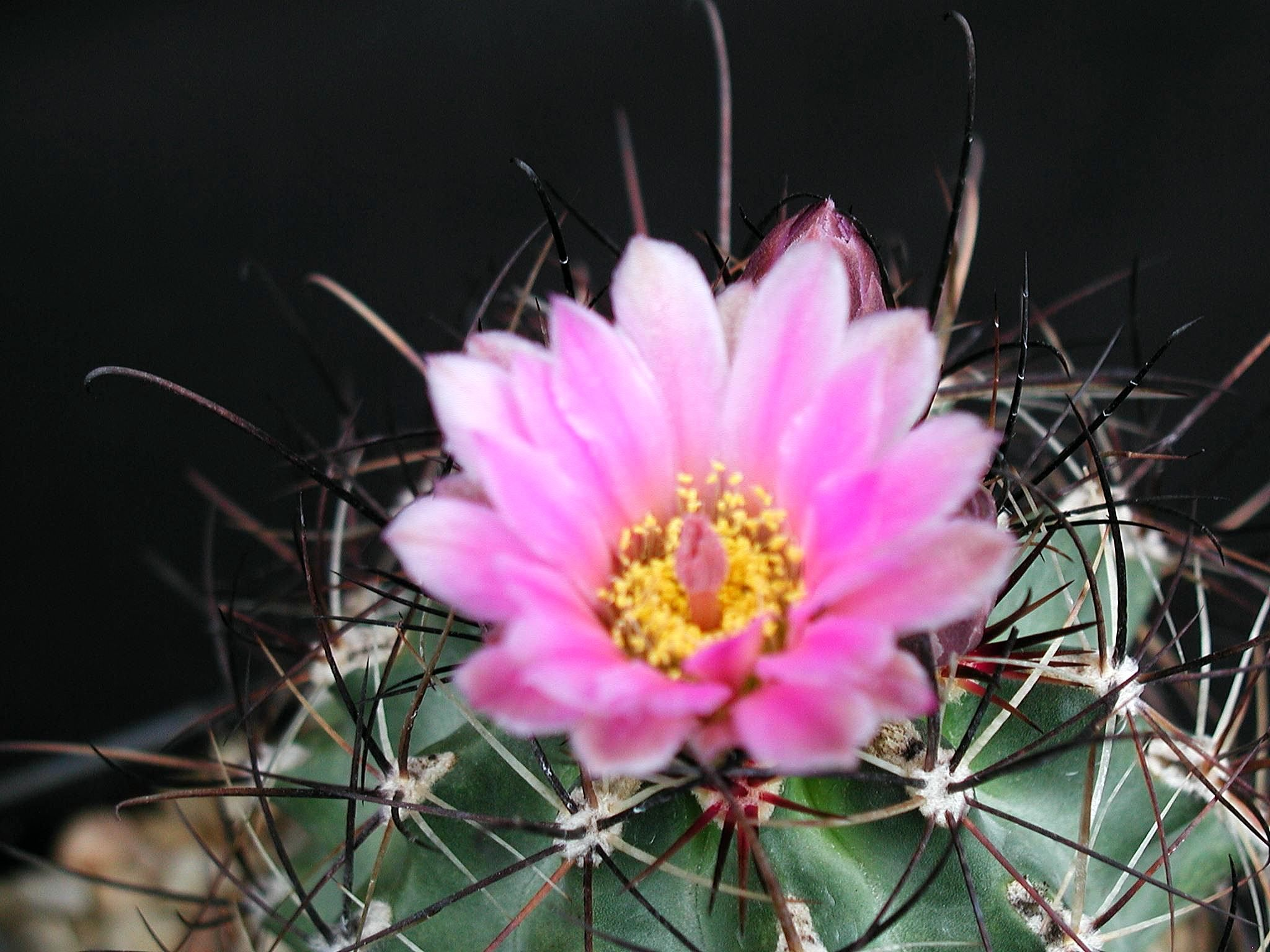Filecactus pink red flowerg wikimedia commons filecactus pink red flowerg mightylinksfo