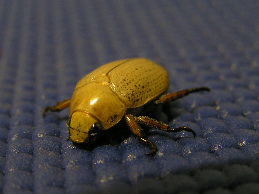 Christmas Beetle.Christmas Beetle Wikipedia