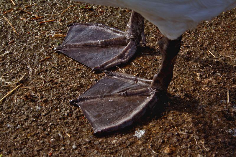 Cygnus olor -Somerset -England -webbed feet-8