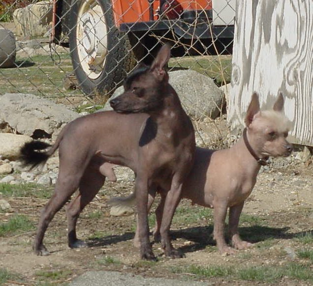 amerikansk hårløs terrier