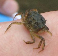 Français : Crabe de boue (Dyspanopeus sayi) pr...