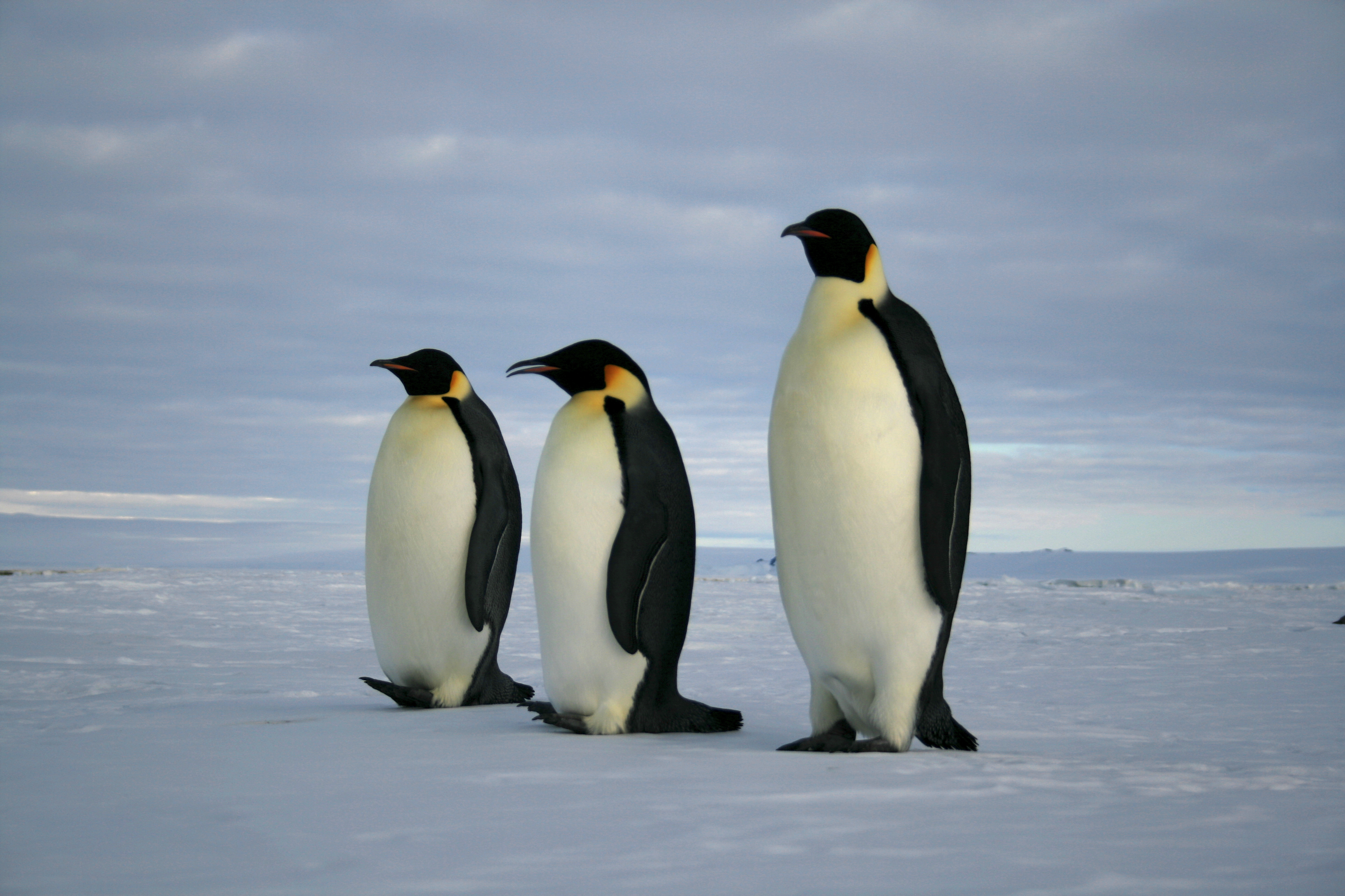 Emperor Penguin Populations Could Decline by 98% by 2100