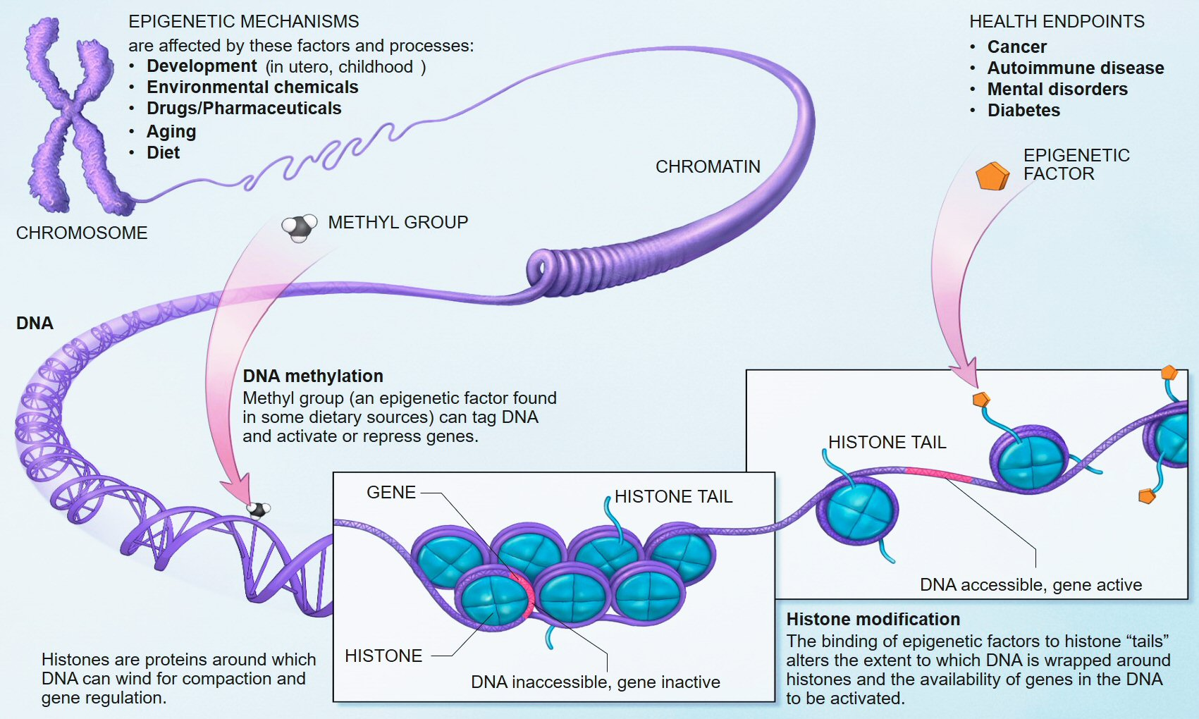 File:Epigenetic mechanisms.jpg