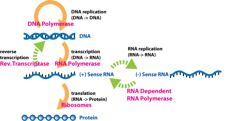 Extended Central Dogma with Enzymes