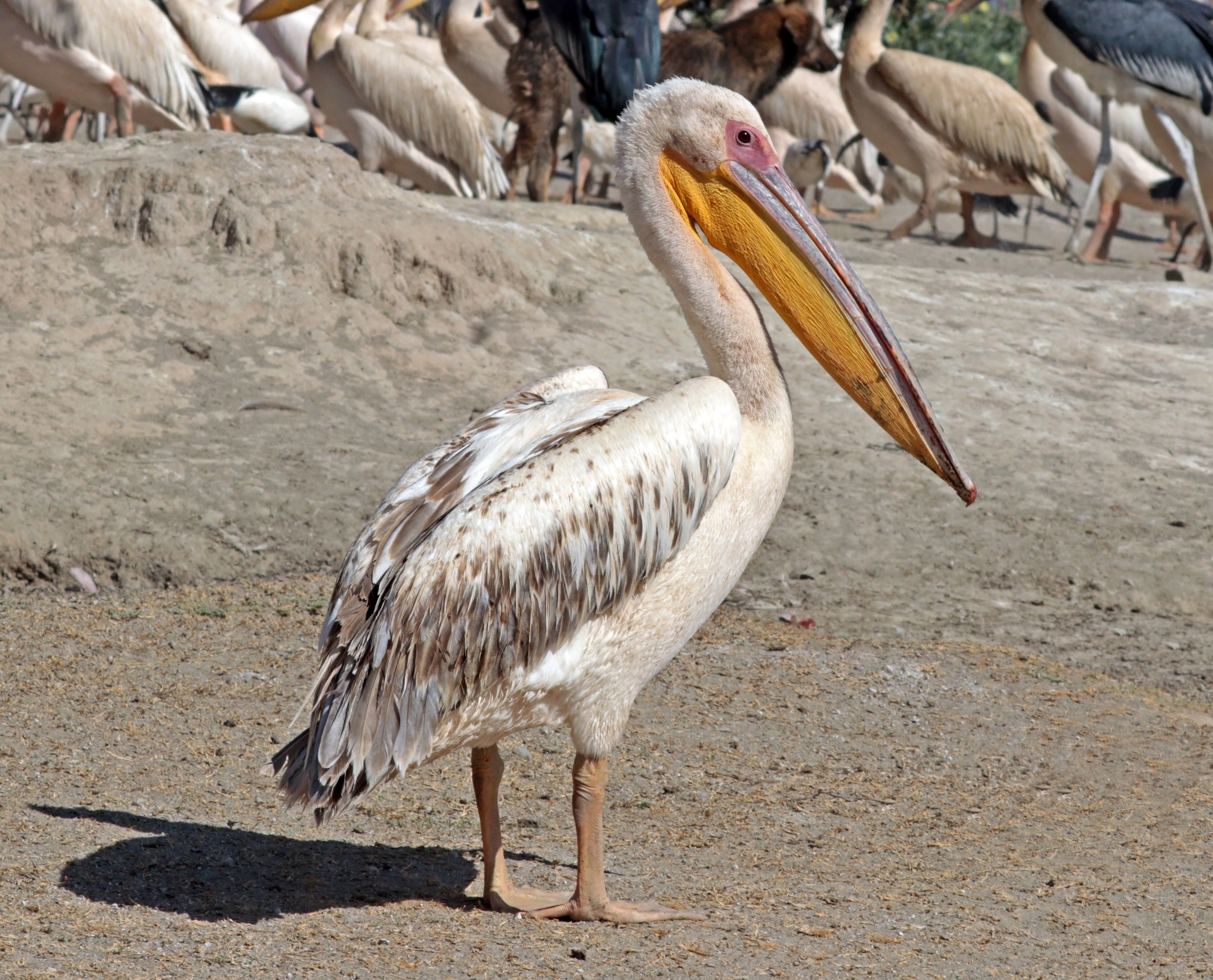 great white pelican wikiwand