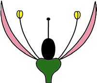 Homochlamyde