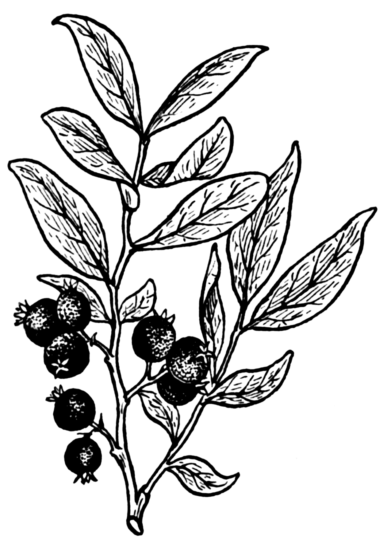 Line Art Wikipedia : File huckleberry psf wikimedia commons