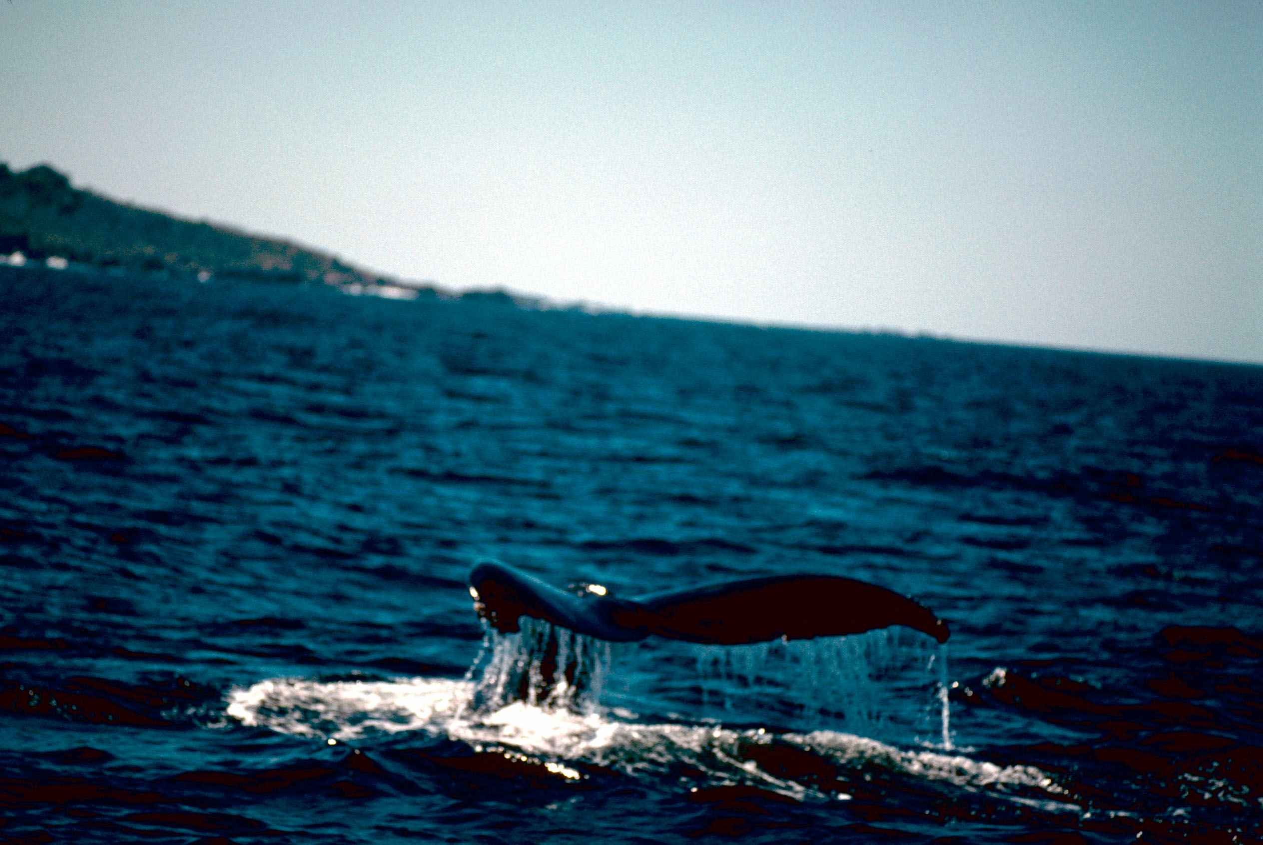Oceans Whales File:humpback Whale in Ocean