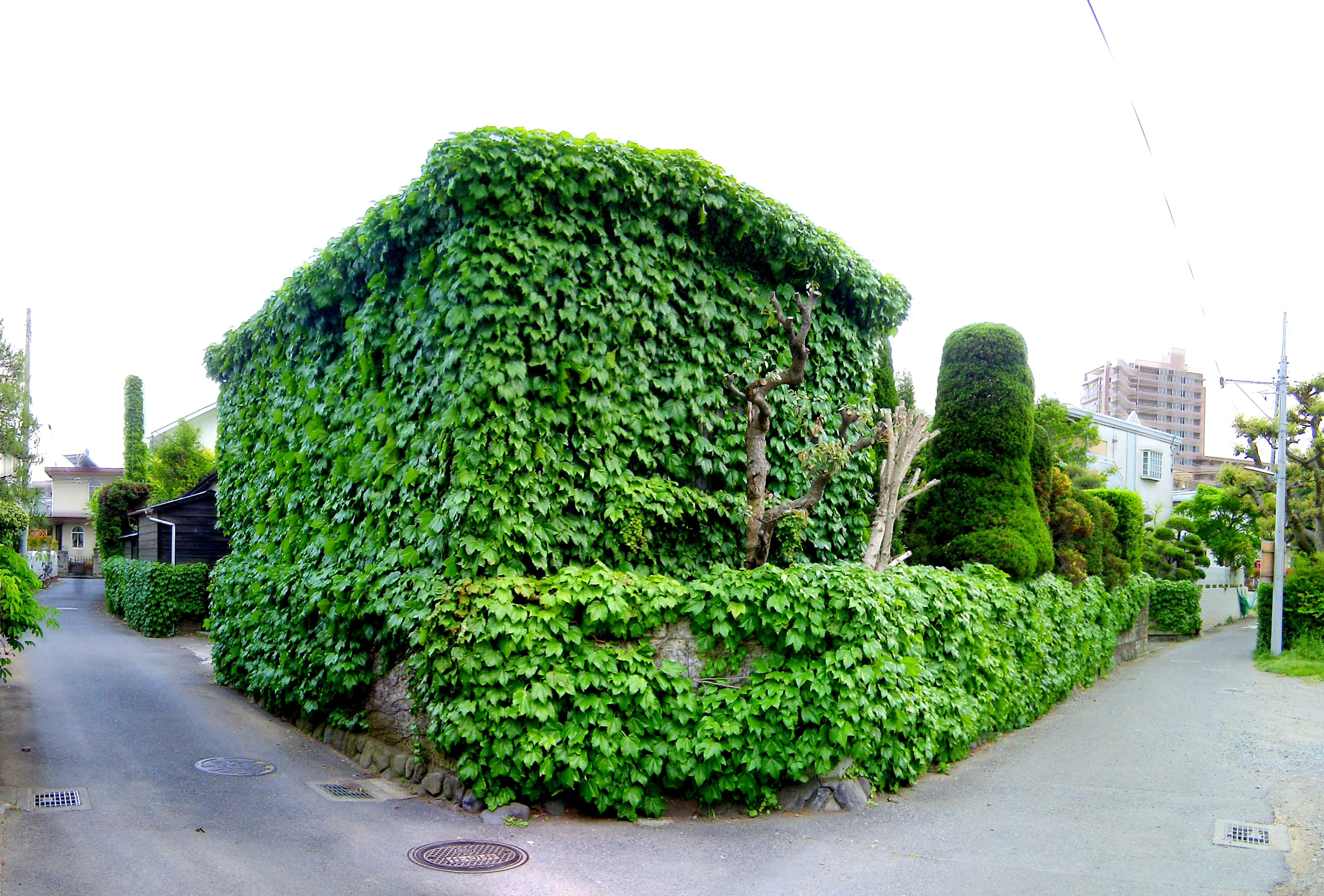 File:Ivy Covered House 1 (13909314)