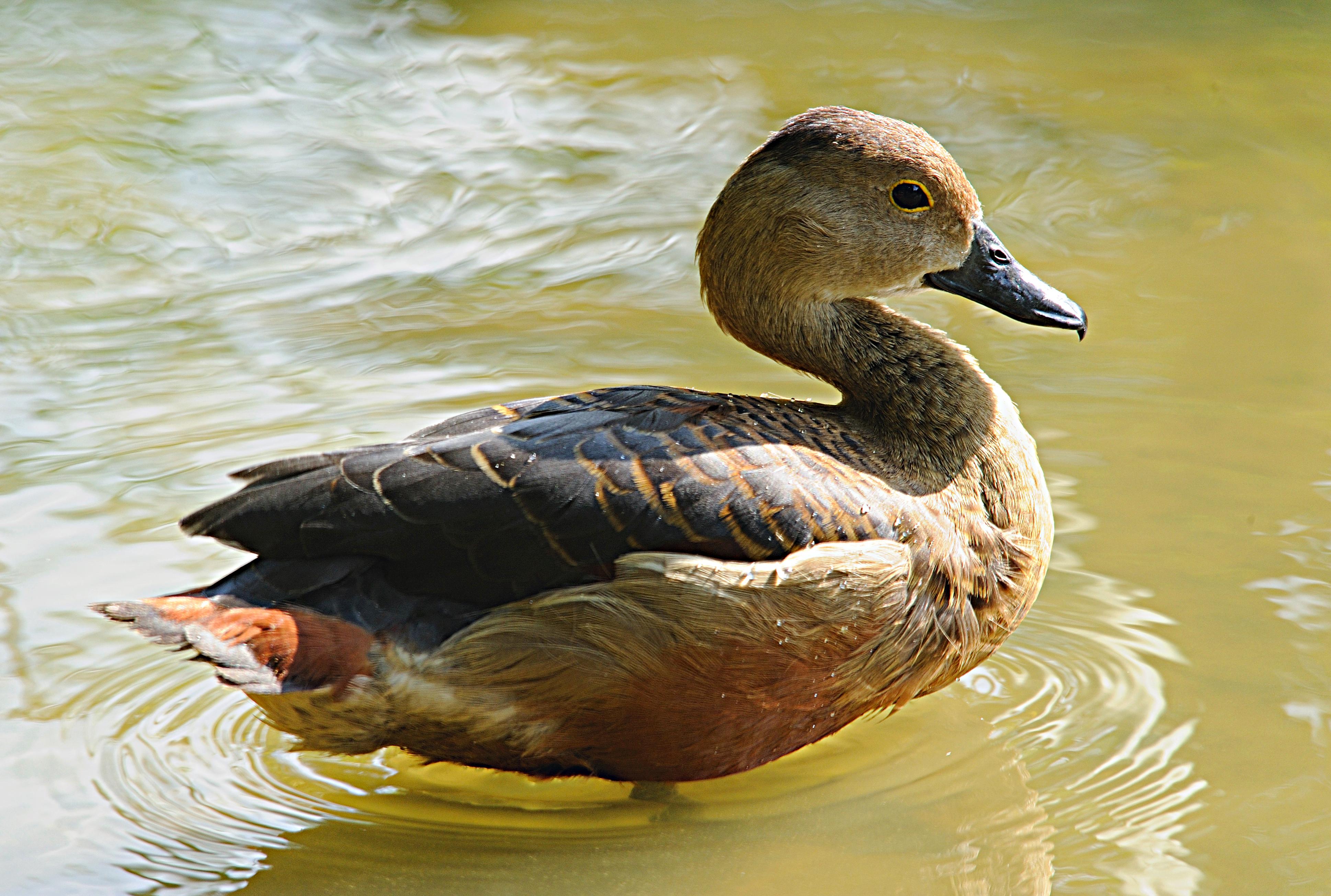 Lesser Whistling Duck, scientific name Dendrocygna javanica
