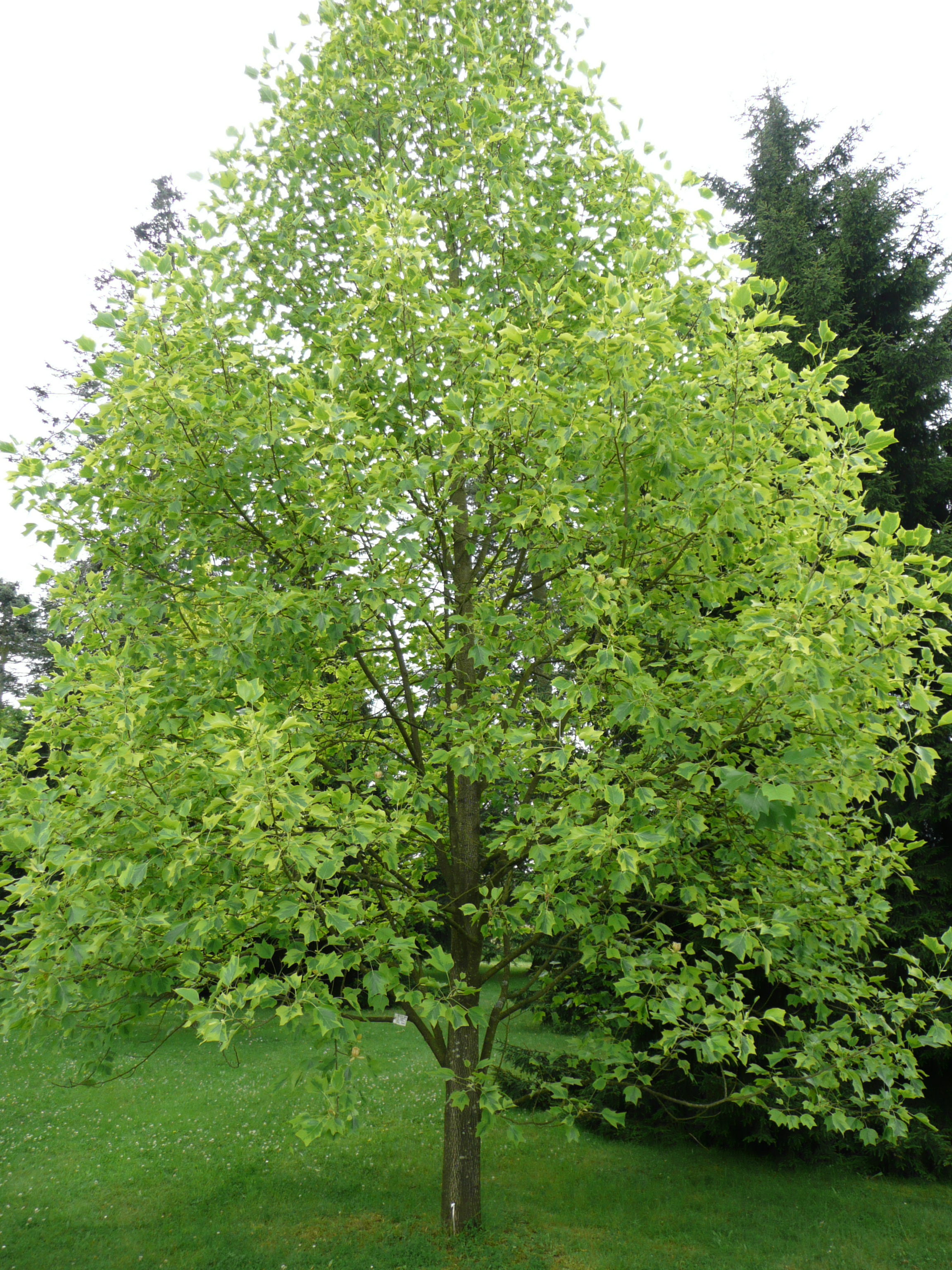 Magnolia File Liriodendron Tulipifera Aureomarginatum 01 By Line1