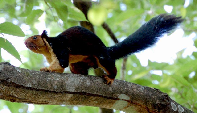 vjeverica odraslih