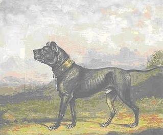 English Mastiff Wikiwand
