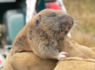 The average litter size of a Mazama pocket gopher is 3