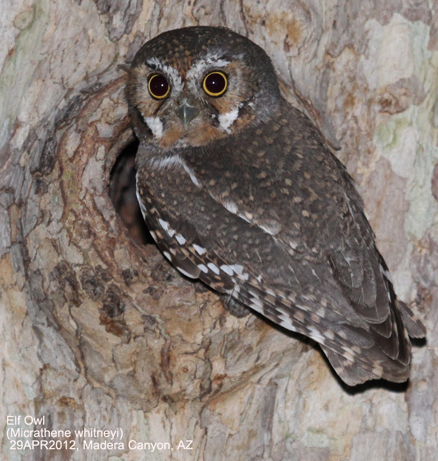 Elf owl - Wikipedia