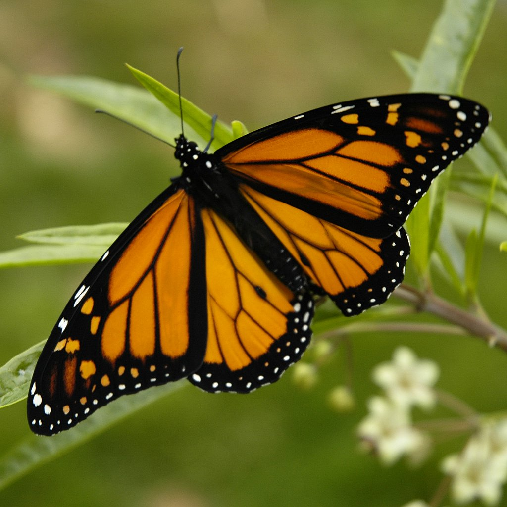 Monarch (butterfly)