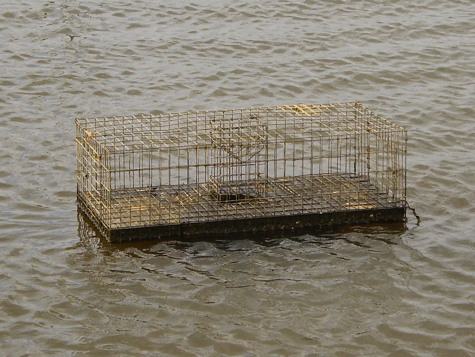 Muskrat Trapping Pictures Muskrat Trap in The