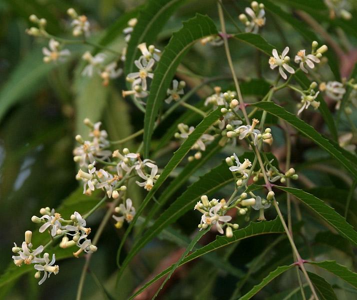 پرونده:Neem (Azadirachta indica) in Hyderabad W IMG 6977.jpg