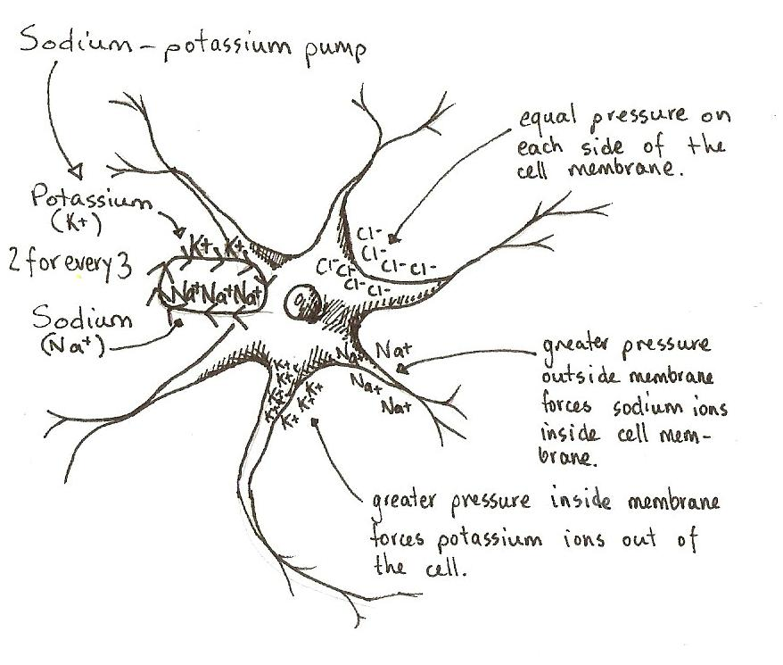 Description Neuron Resting Potential JPGResting Potential Of A Neuron