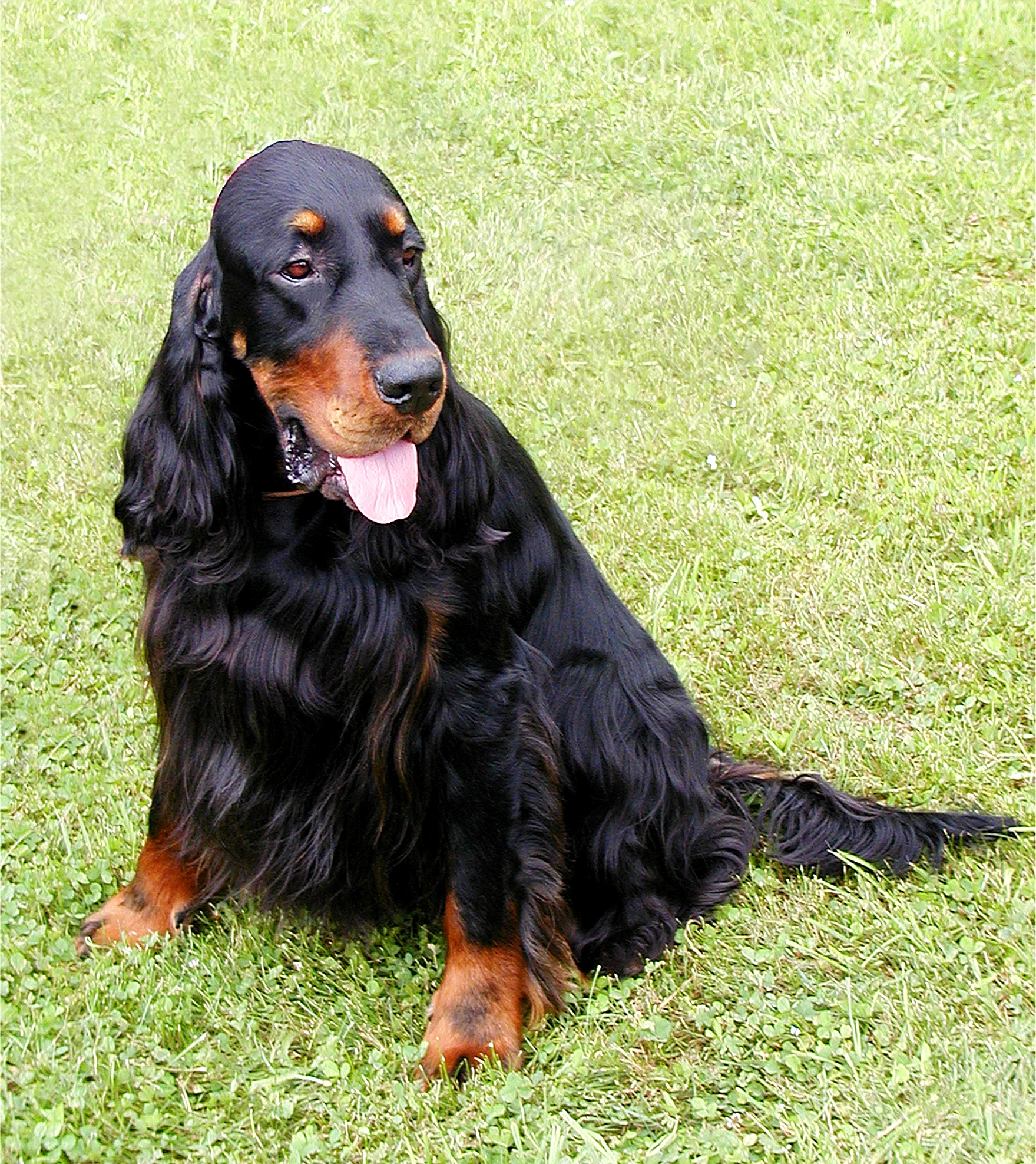 File:Nike the Gordon Setter 18 June 2005.jpg  Wikimedia Commons