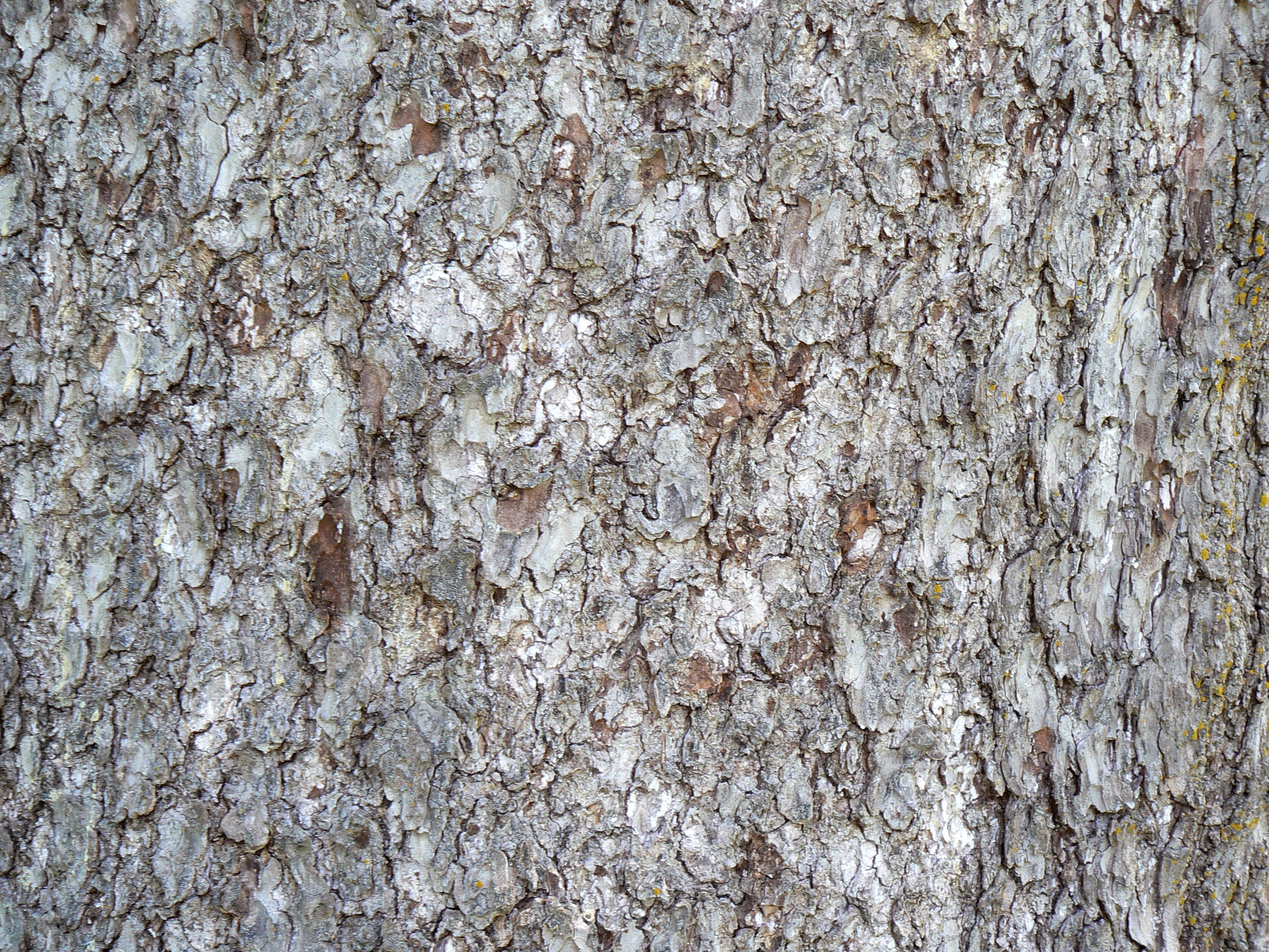File:Norway Spruce bark detail.jpg - Wikimedia Commons