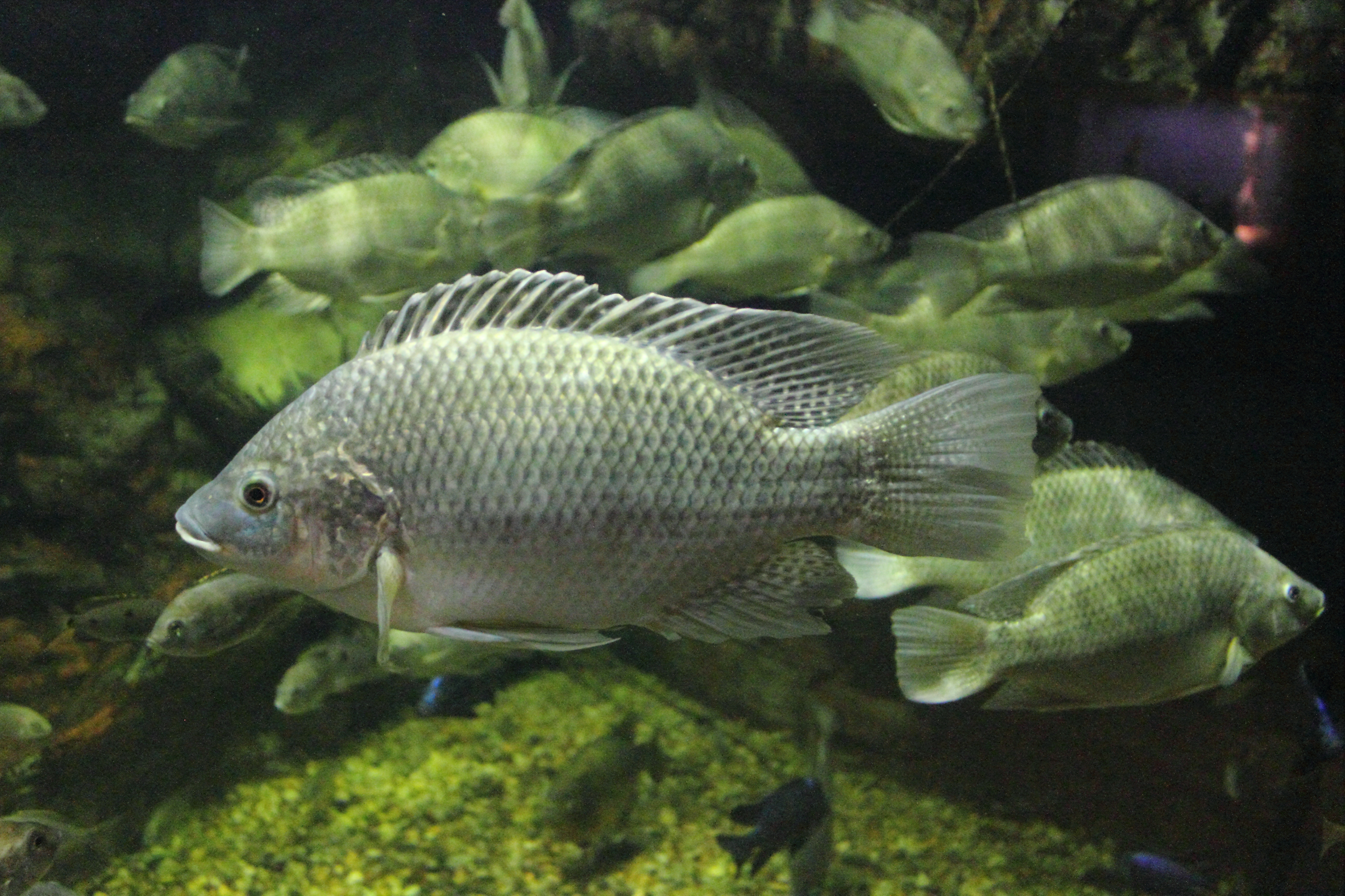 Near threatened animals for What type of fish is tilapia