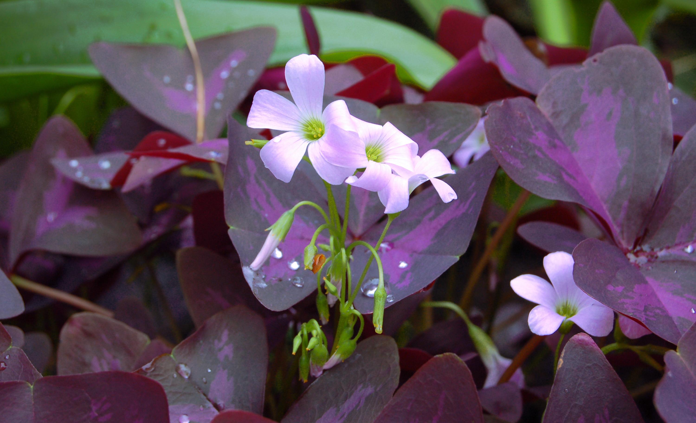 Shamrock plants for saint patrick 39 s day 2017 shamrock - Plantas de hojas verdes ...