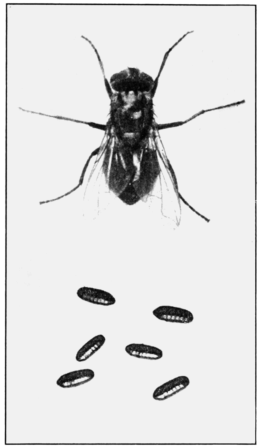 PSM V81 D046 Common house or typhoid fly.png