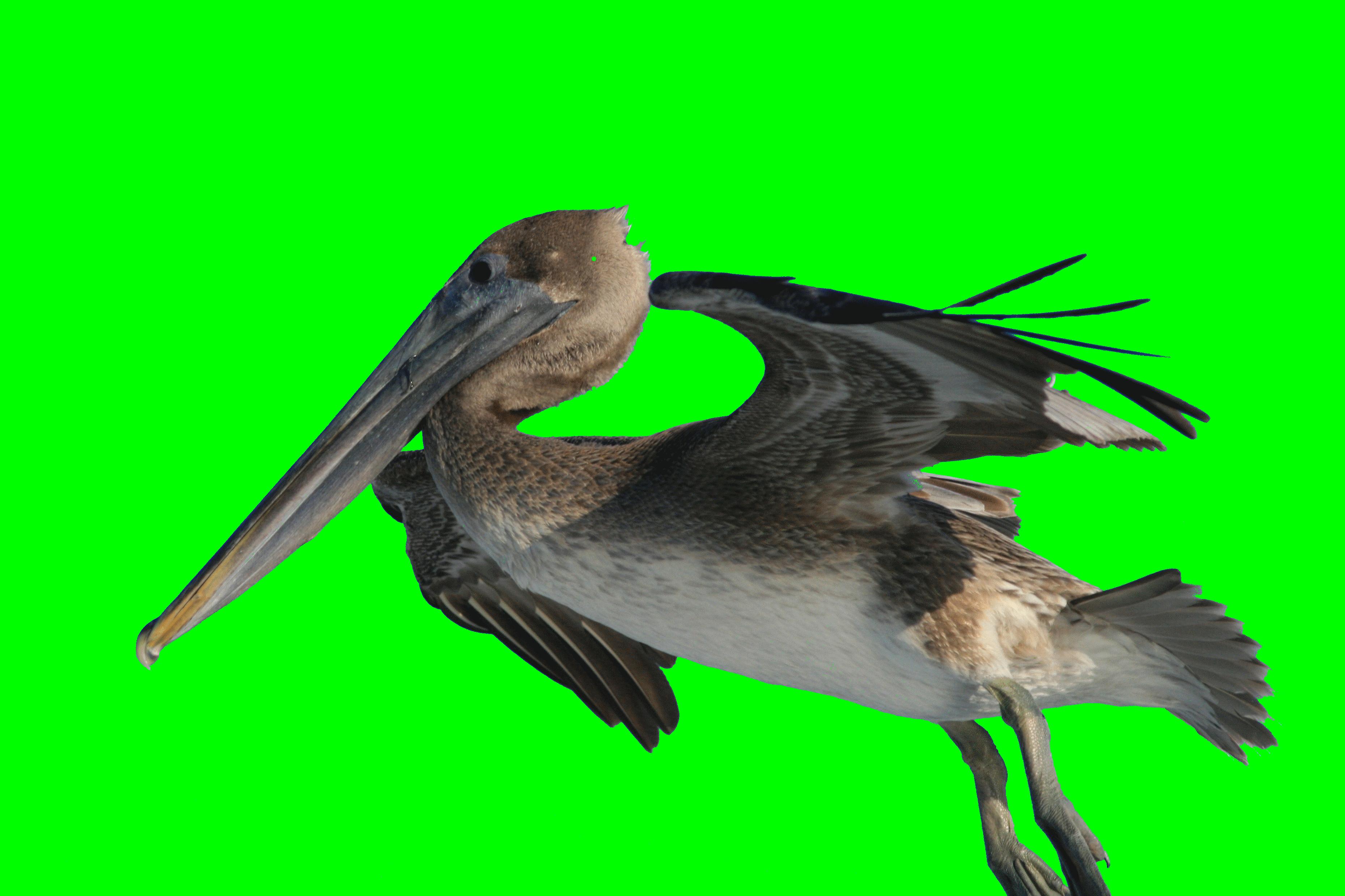 File Pelecanus Occidentalis And Fishing Hook 2 Png