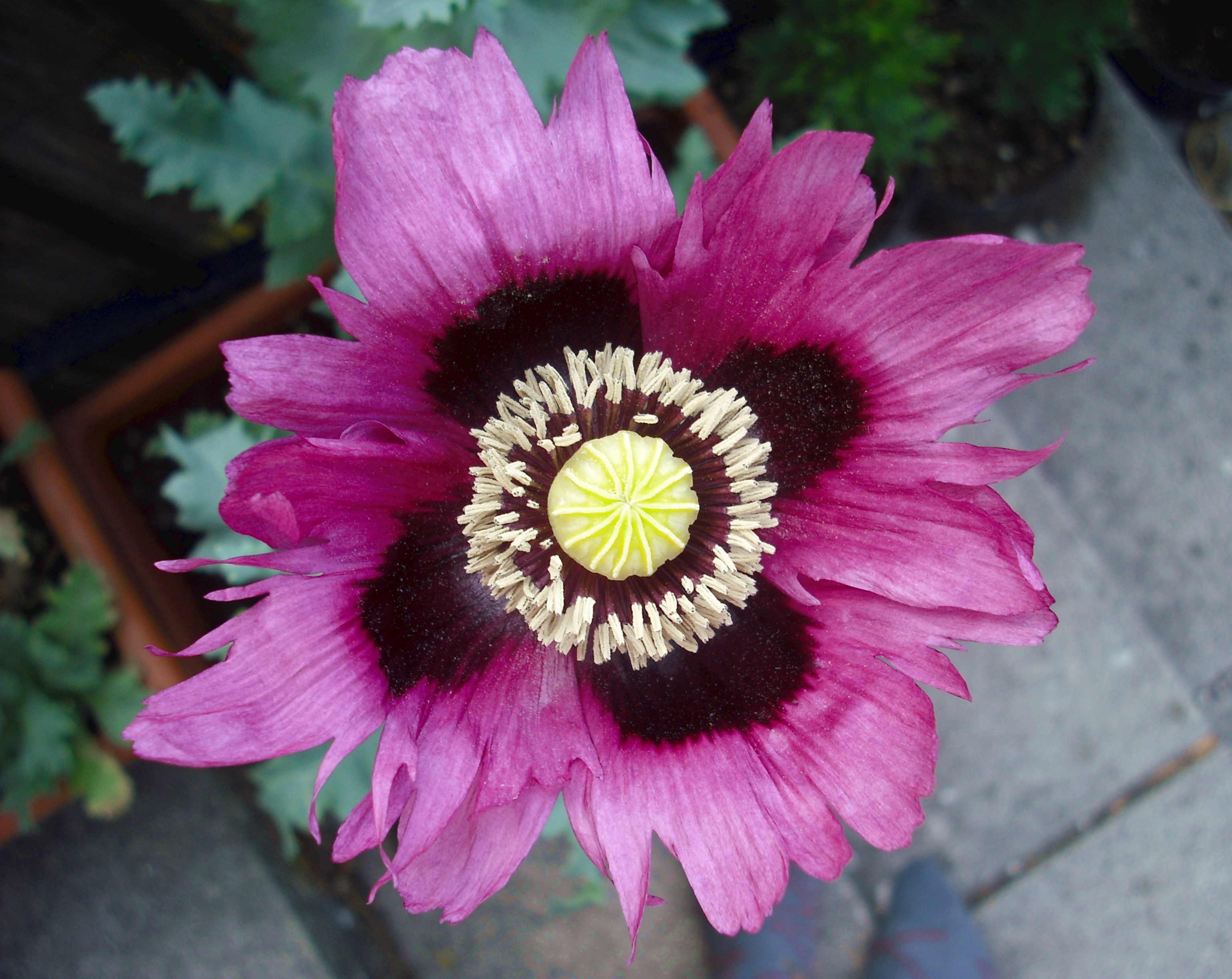 Filepurple opium poppy flowerg wikimedia commons filepurple opium poppy flowerg mightylinksfo