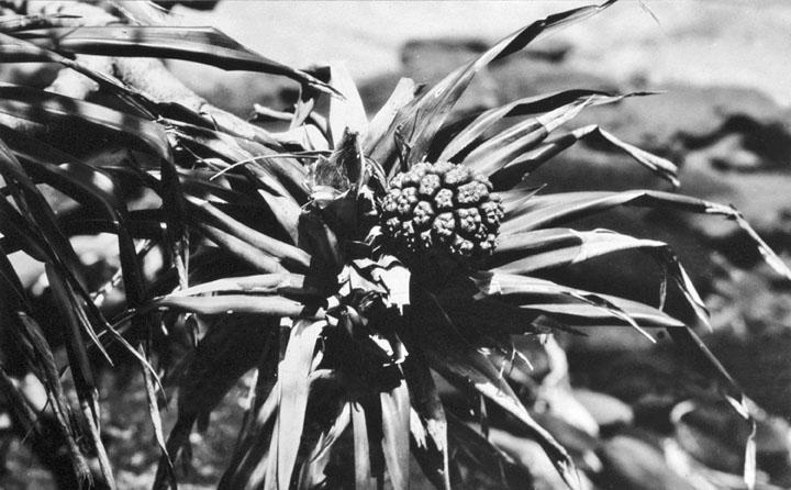 File:Queensland State Archives 1109 Pandanus Fruit at Caloundra December 1930.png