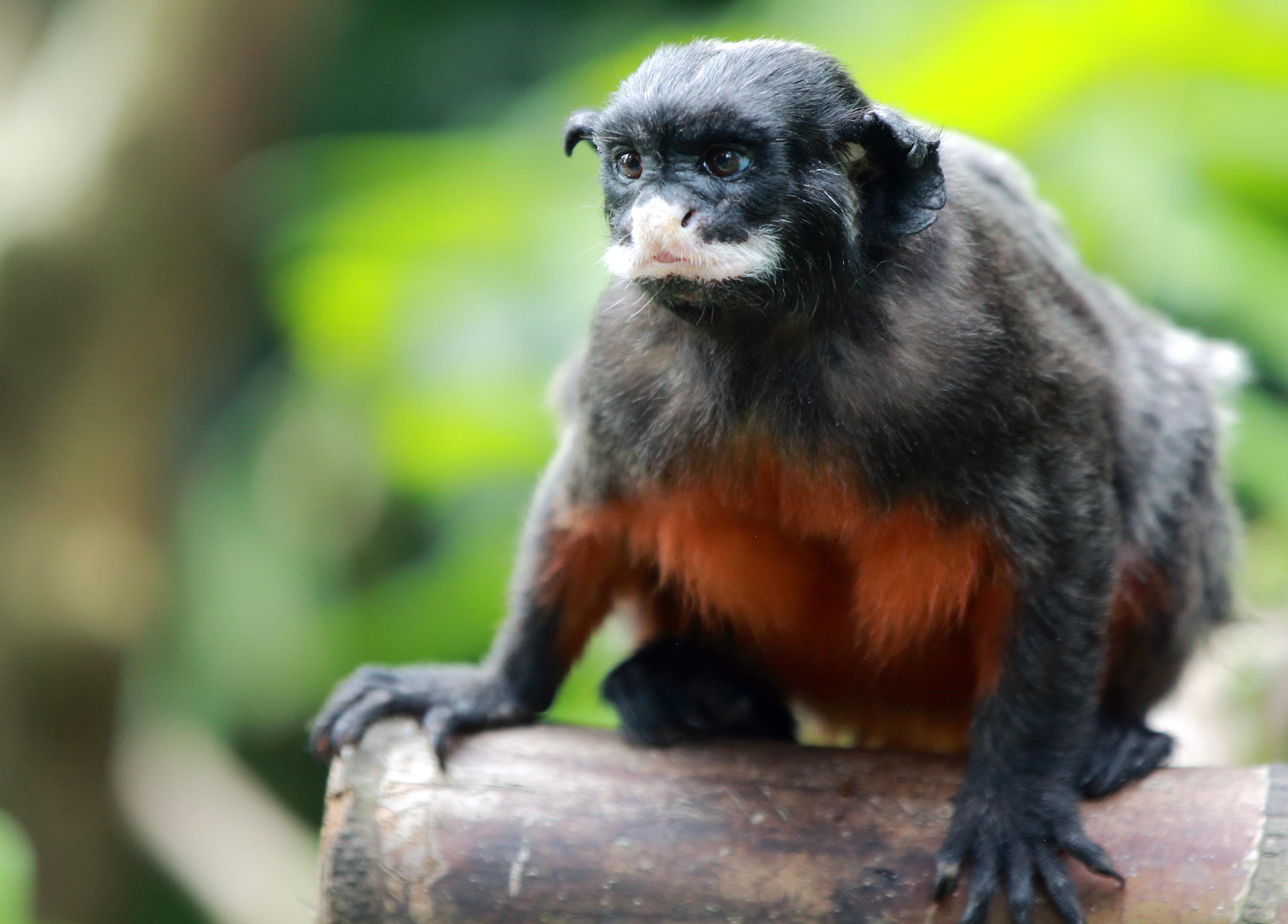 https://upload.wikimedia.org/wikipedia/commons/d/dd/Red-bellied_tamarin_%28Saguinus_labiatus%29_2.jpg