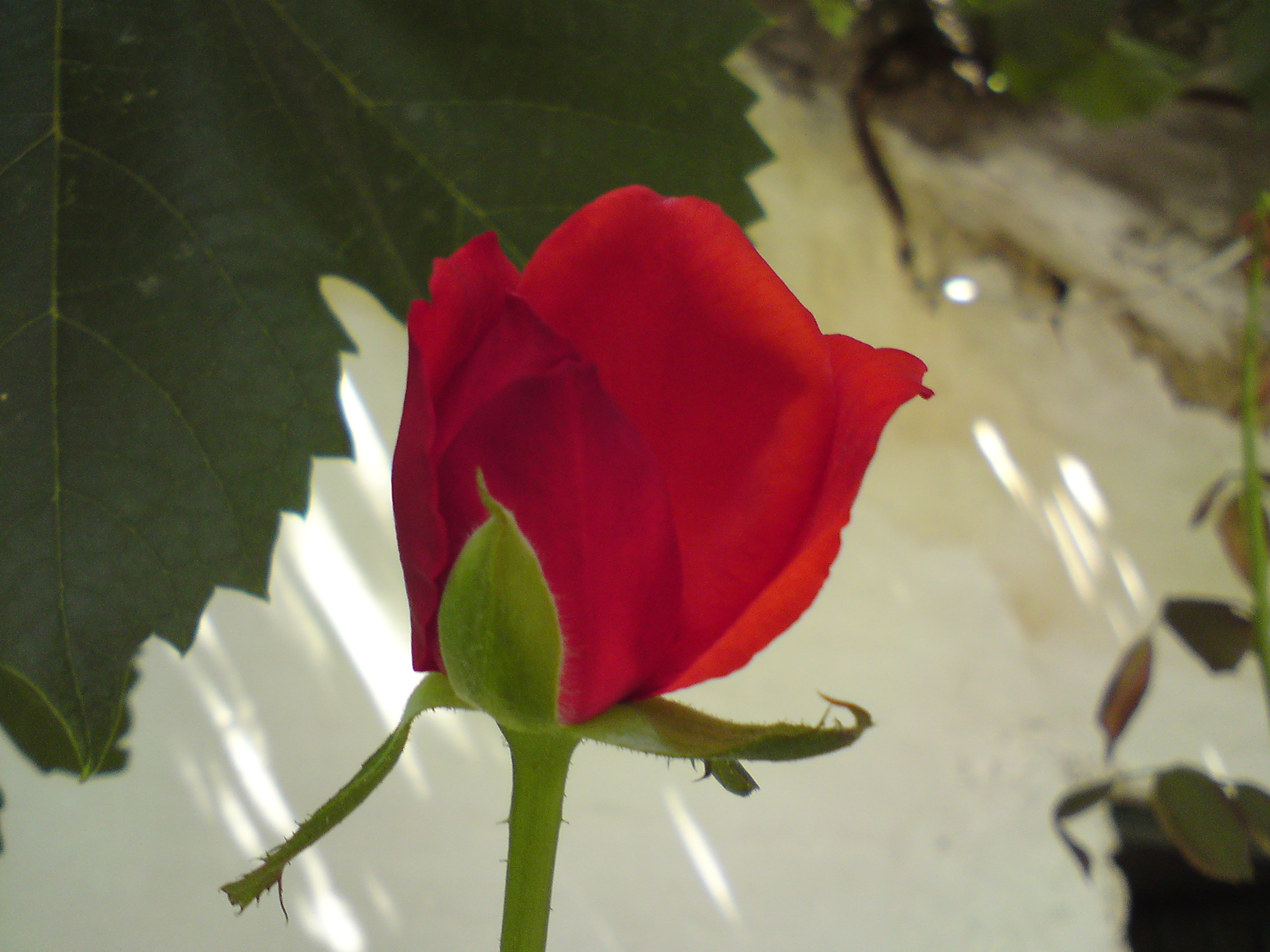 File Red Rose 1st Day Jpg Wikimedia Commons