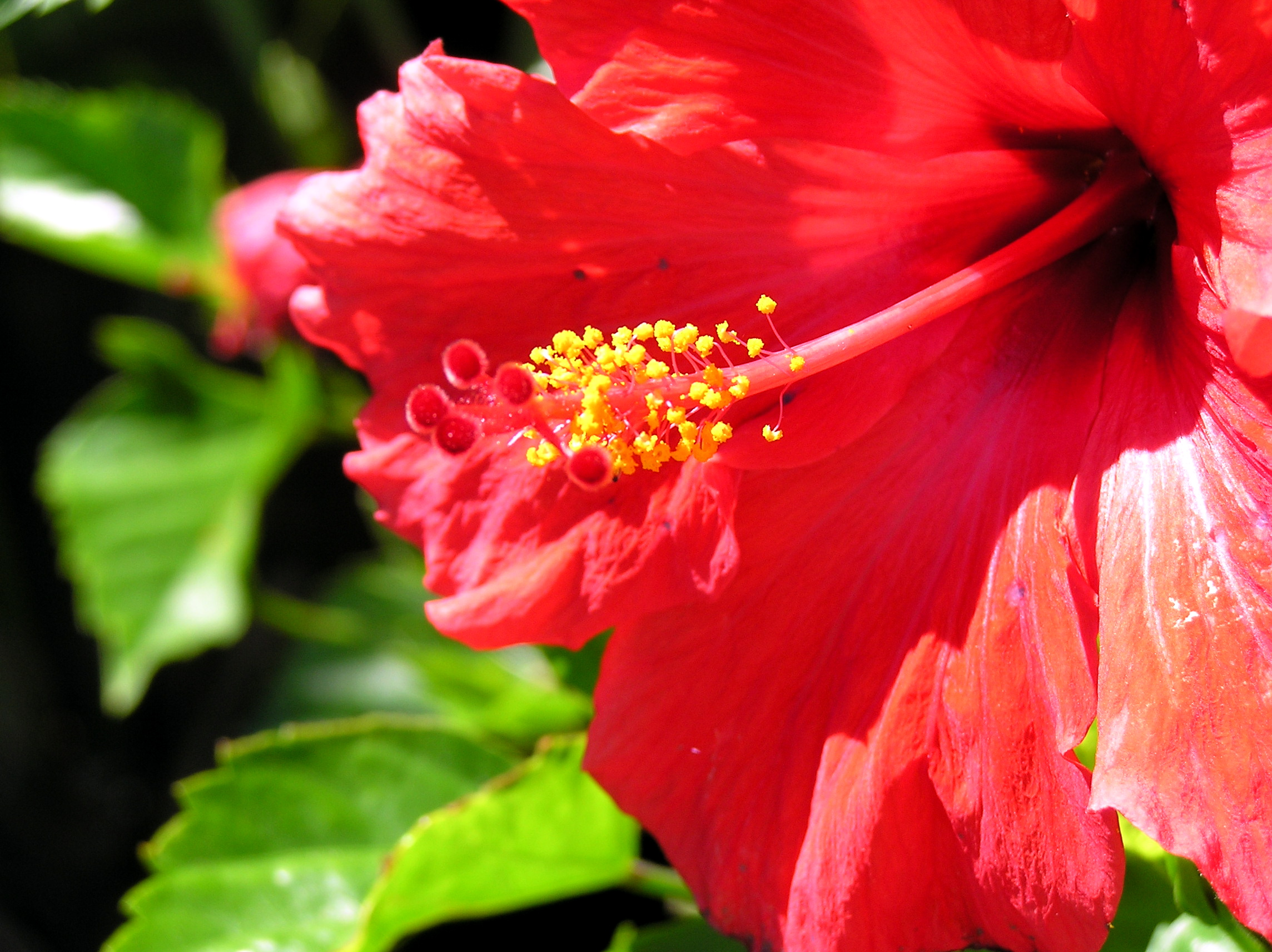 File Red flower open