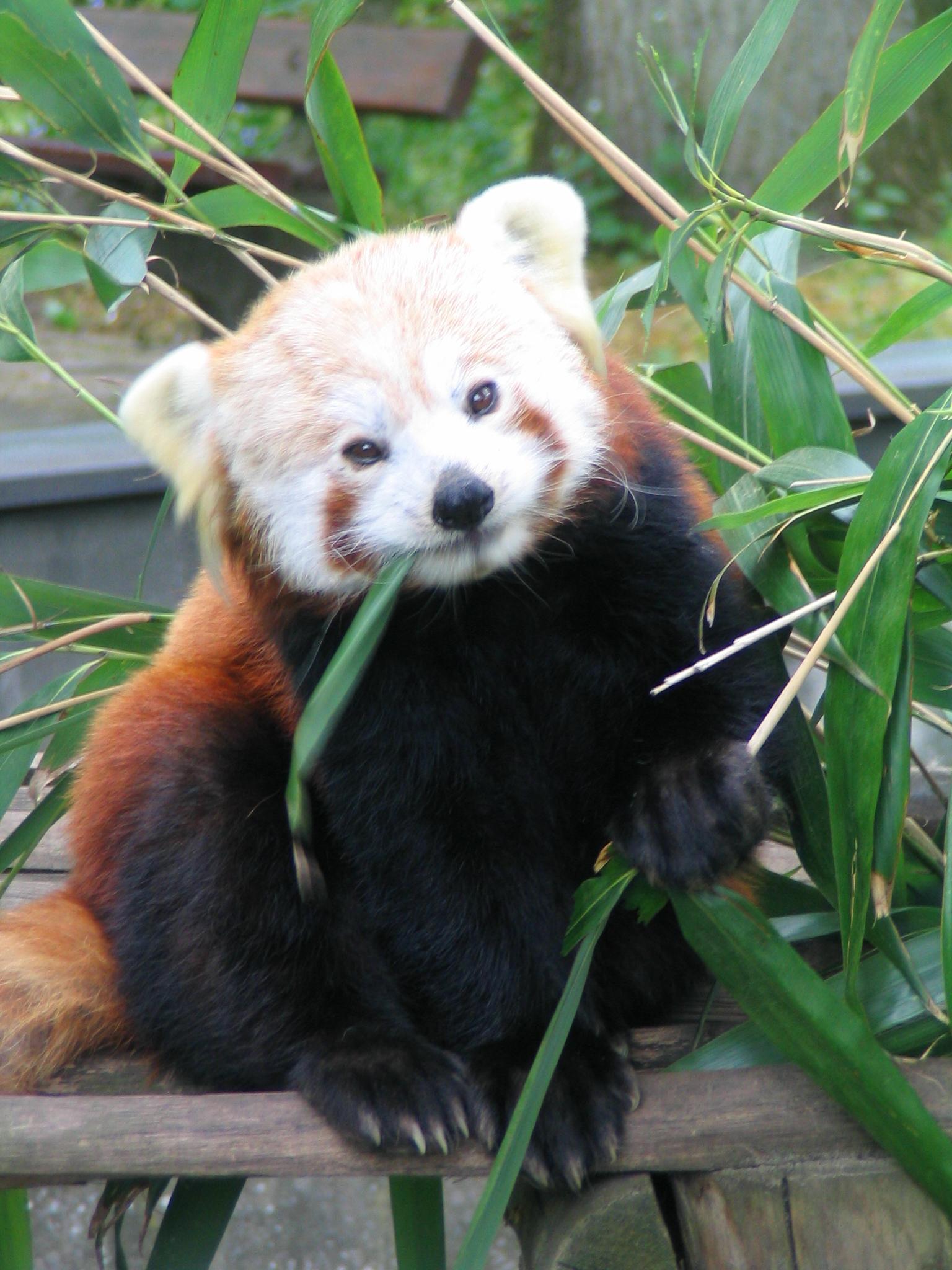 filered panda eating bambu leafjpg