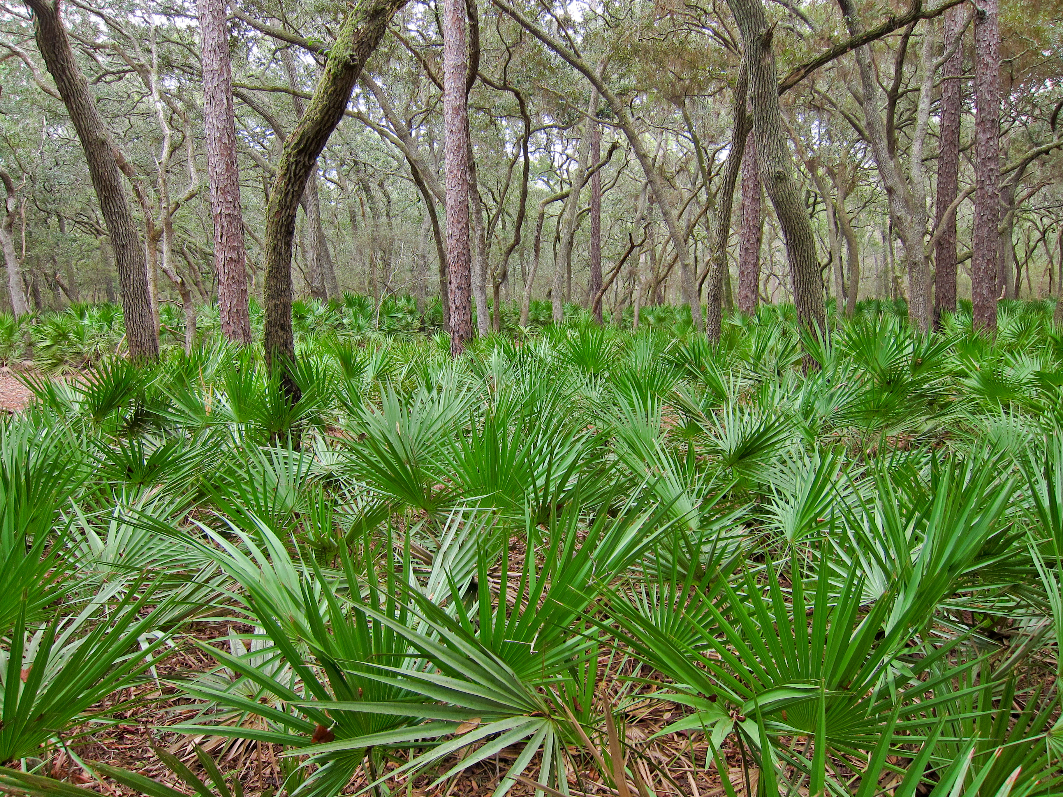 Fichier:Saw palmetto (Serenoa repens) in Manatee Springs State ...