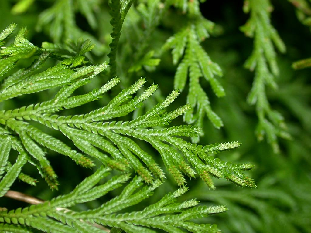 Selaginella involvens - Wikispecies