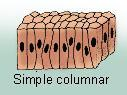 Simple columnar epithelium.jpg
