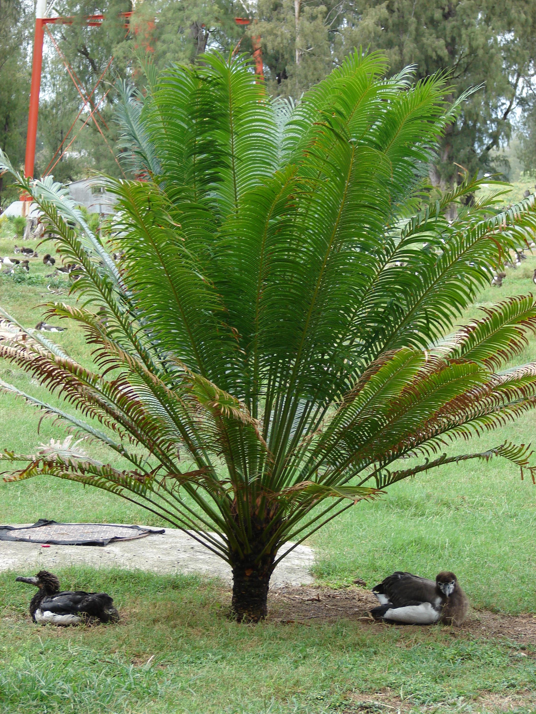 File starr 080607 7318 cycas wikimedia for Plant de pot exterieur