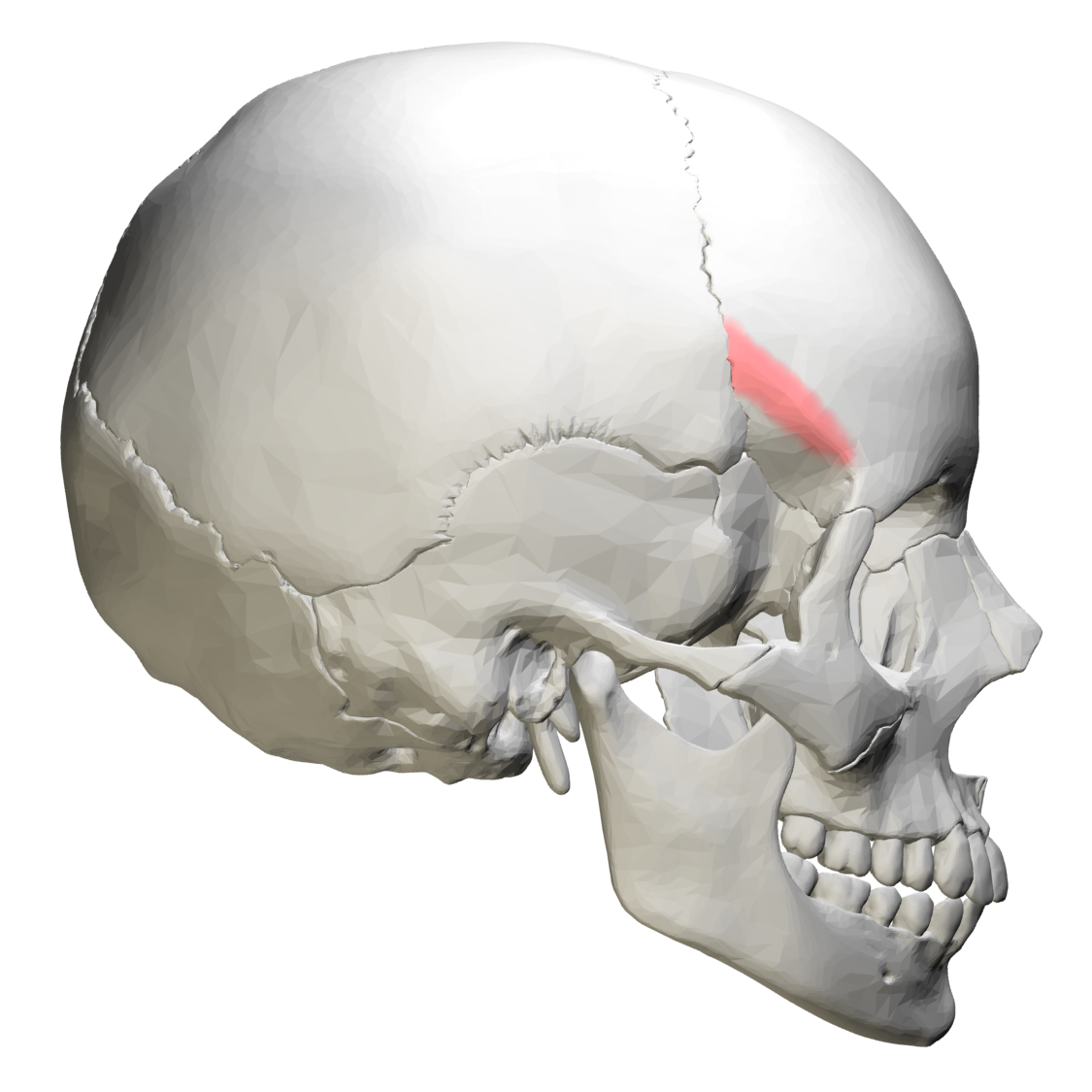 File:Temporal line of Frontal bone - lateral view.png - Wikimedia ...