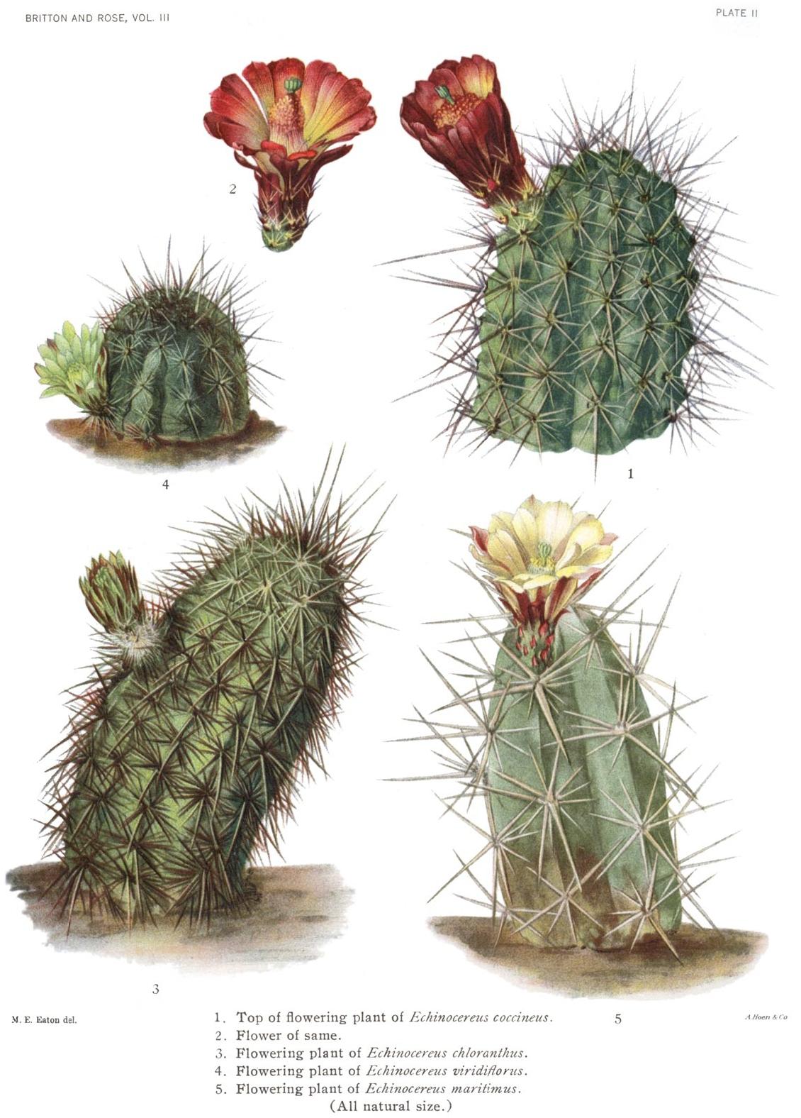 Cactaceae wikipedia for Pianta cactus
