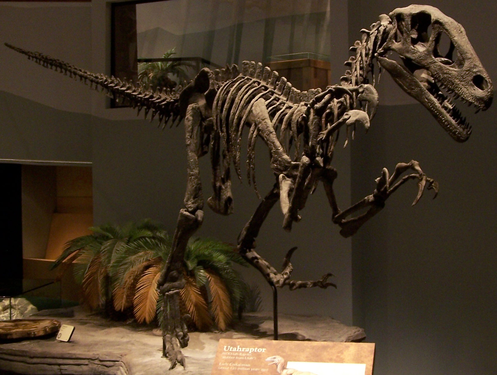 Description Utahraptor skeleton NAMAL jpgUtahraptor Skeleton