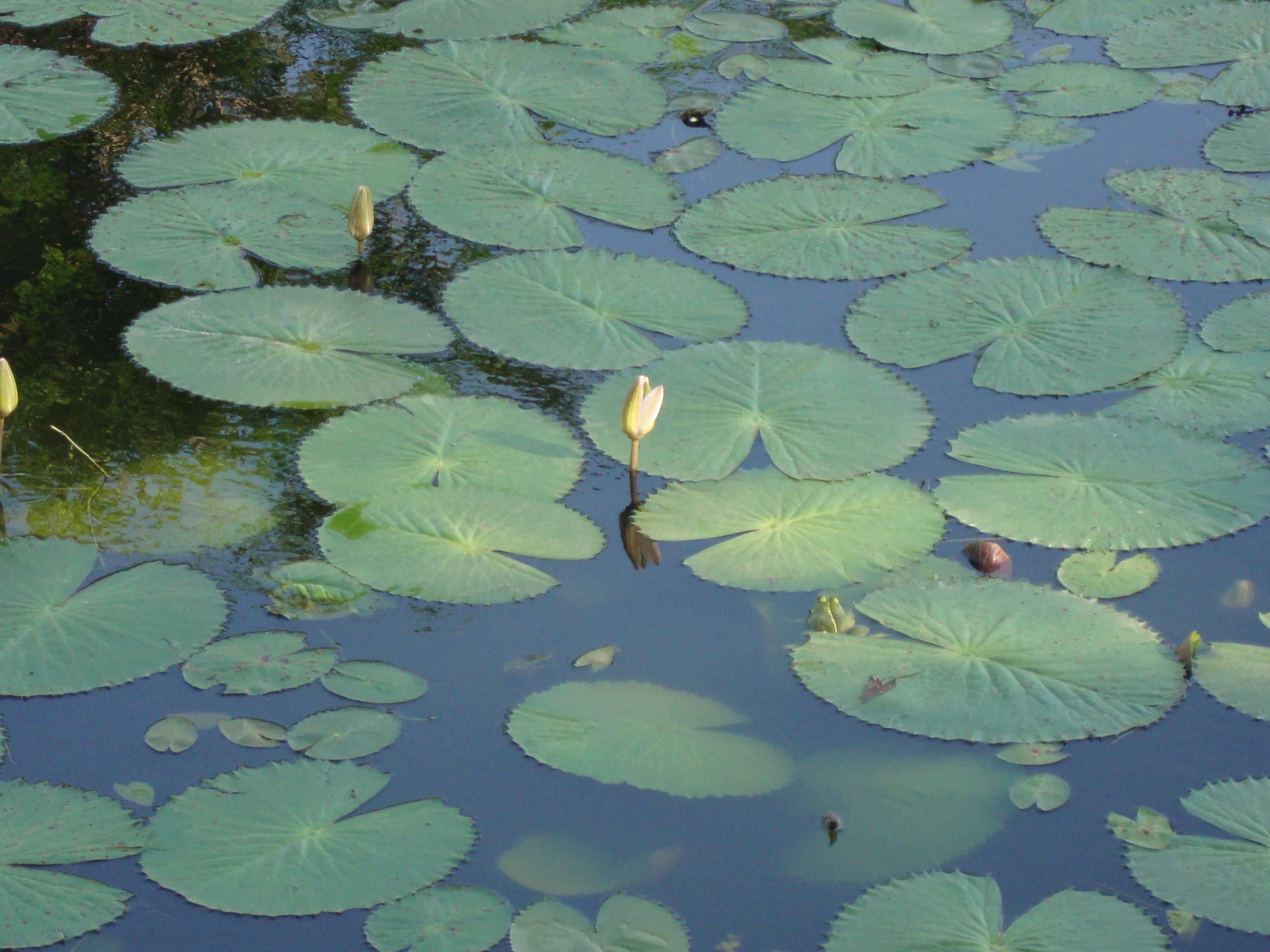 File Water Lily Pond Chennai Jpg Wikimedia Commons