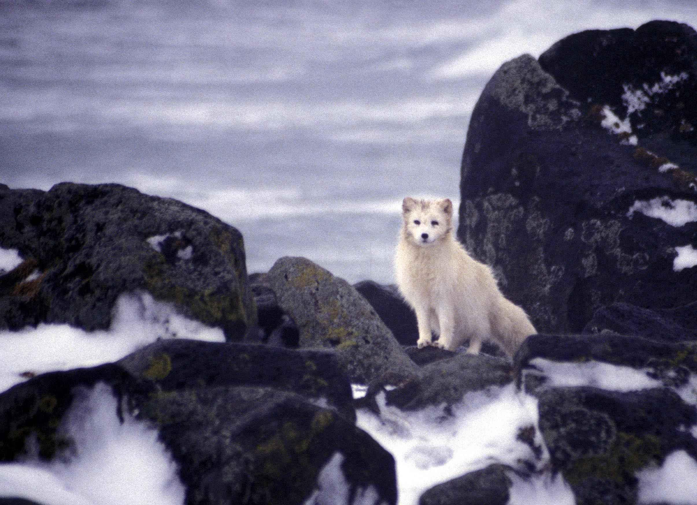 Description white arctic fox animal