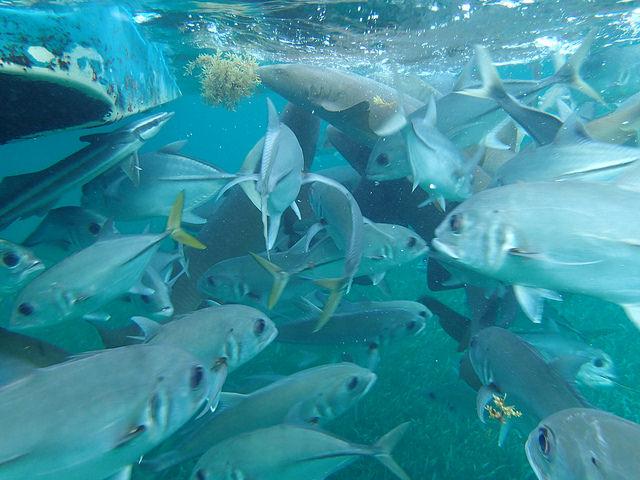 File:Whitefin Sharksucker.jpg
